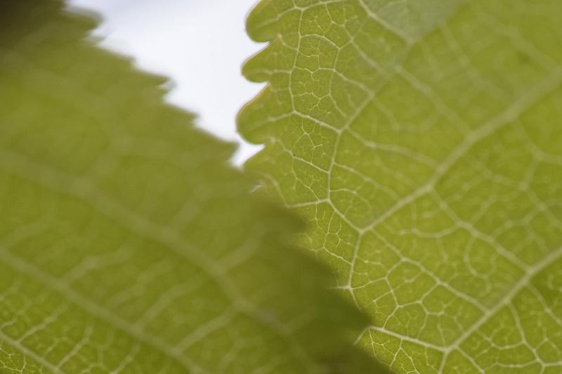 PAPIRØEN - grønne blade
