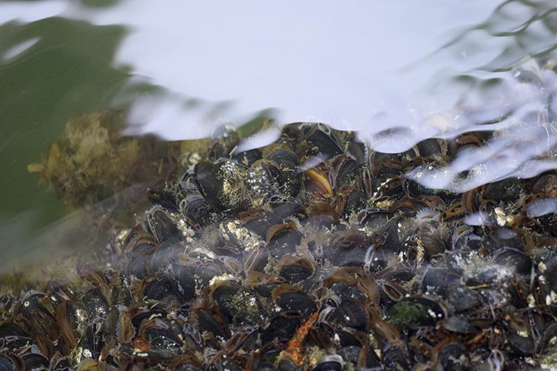 Muslinger under vand